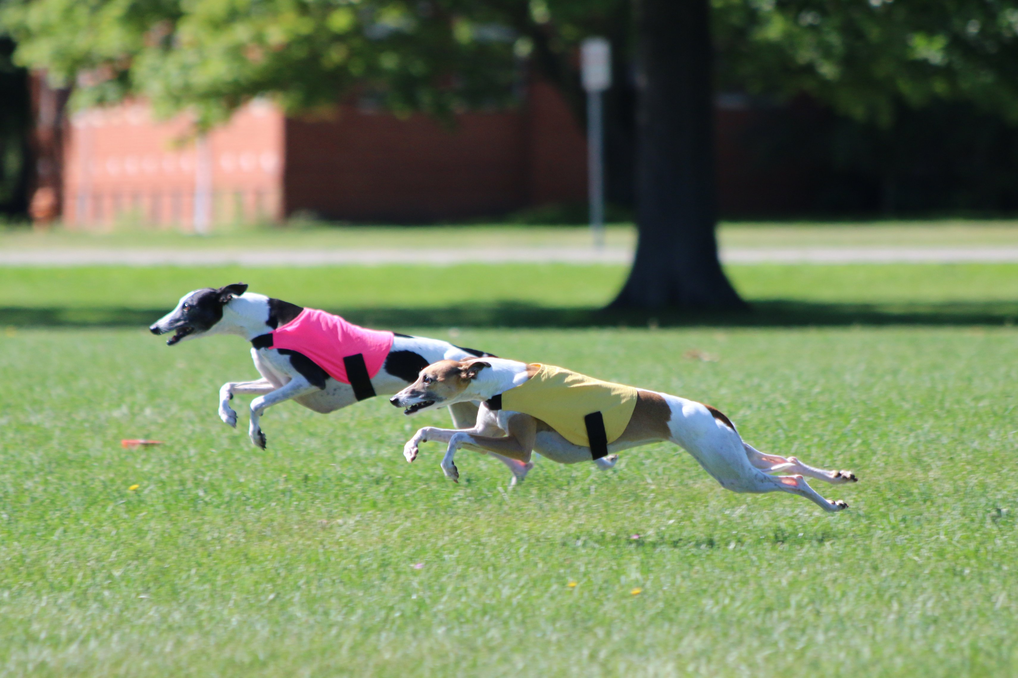 End of Year Statistics for Whippets (ASFA & AKC)